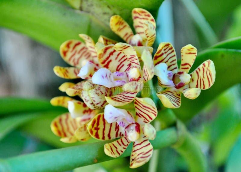 Тропическая одичалая орхидея стоковая фотография rf