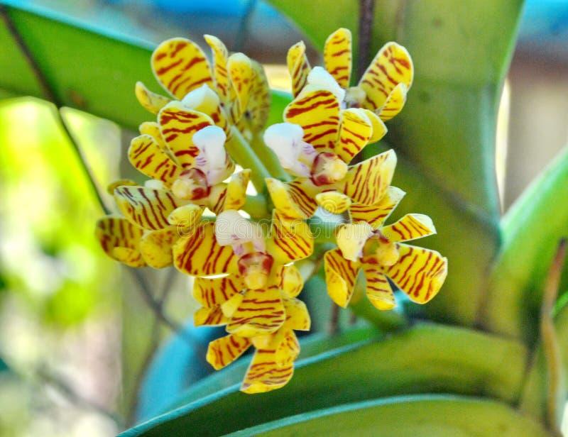 Тропическая одичалая орхидея стоковое фото