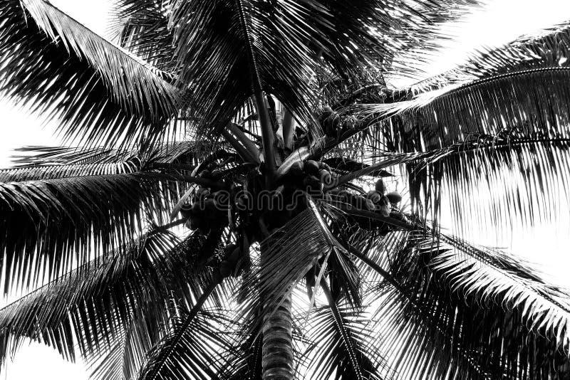 Тропическая пальма кокоса с зрелыми кокосами Взгляд низкого угла стоковая фотография rf