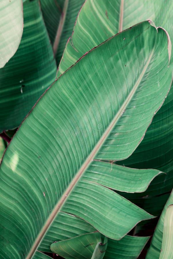 Тропическая предпосылка листвы растительности Чаща пальм с большими листьями Цвет нефрита джунглей Красивый ботанический фон стоковая фотография