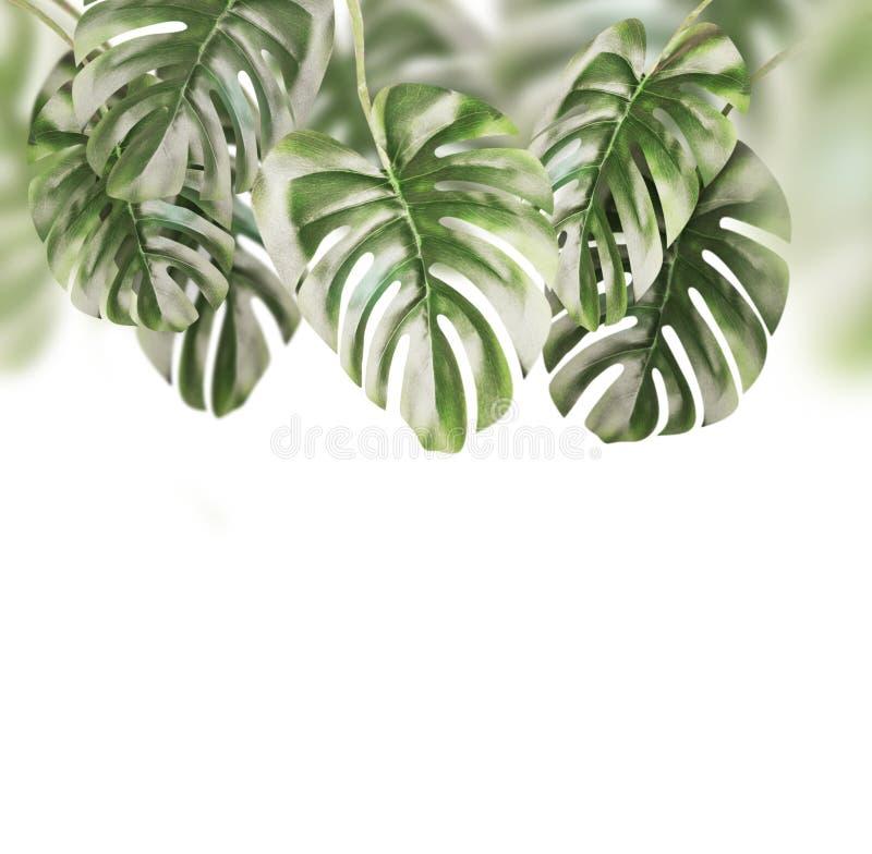 Тропическая предпосылка листьев Ветви изолированный висеть Monstera смертной казни через повешение, стоковые изображения rf