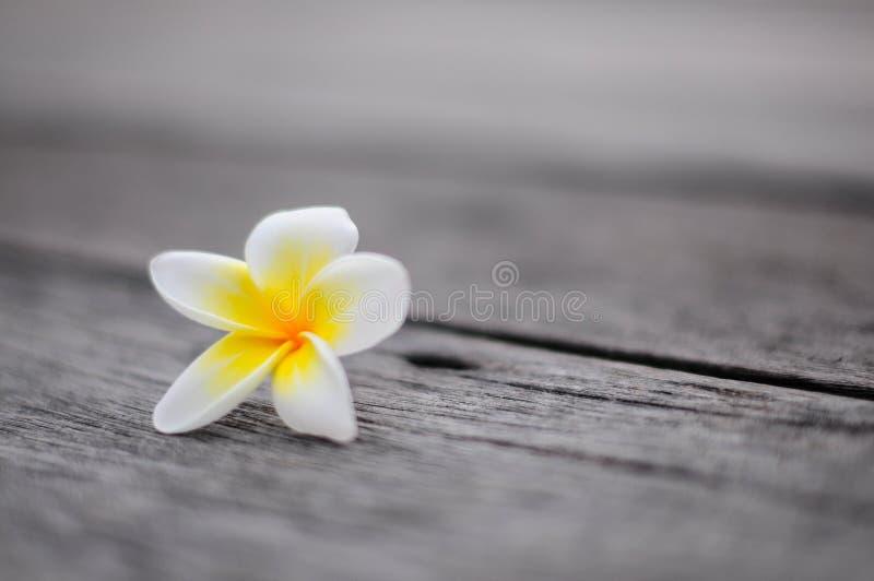 Тропическая предпосылка frangipani цветков стоковые изображения