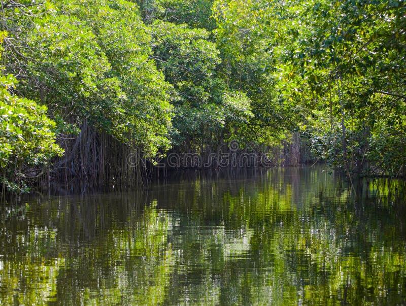 Тропическая пуща мангровы чащ. Ландшафт стоковые фото