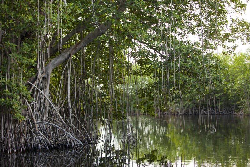 Тропическая пуща мангровы чащ на черном реке ямайка стоковые изображения rf