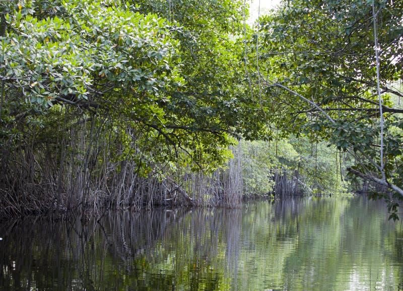 Тропическая пуща мангровы чащ на черном реке ямайка стоковое изображение rf