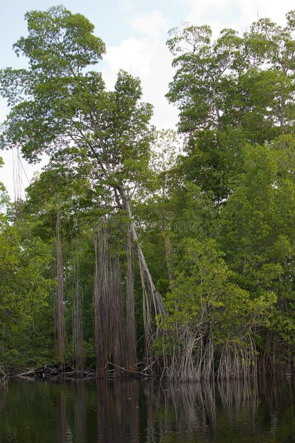 Тропическая пуща мангровы чащ на черном реке ямайка стоковое фото rf