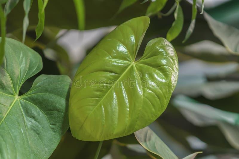 Тропические естественные листья детенышей Monstera с текстурой филодендрон Разделени-лист, тропическая листва абстрактная естеств стоковое изображение
