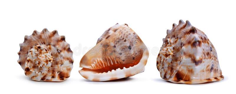 Тропические раковины раковины изолированные на белой предпосылке стоковое изображение rf