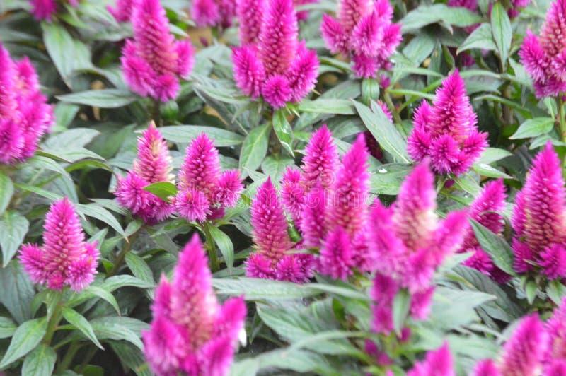 тропические розовые цветы растут в горшочках для домашних садов стоковые фотографии rf