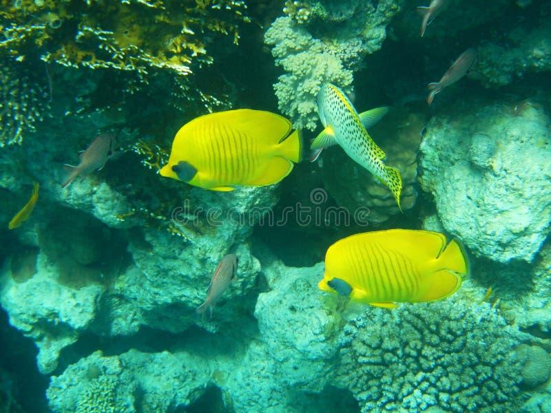 Тропические рыбы бабочки на цветастом коралловом рифе в Красном Море, стоковые изображения