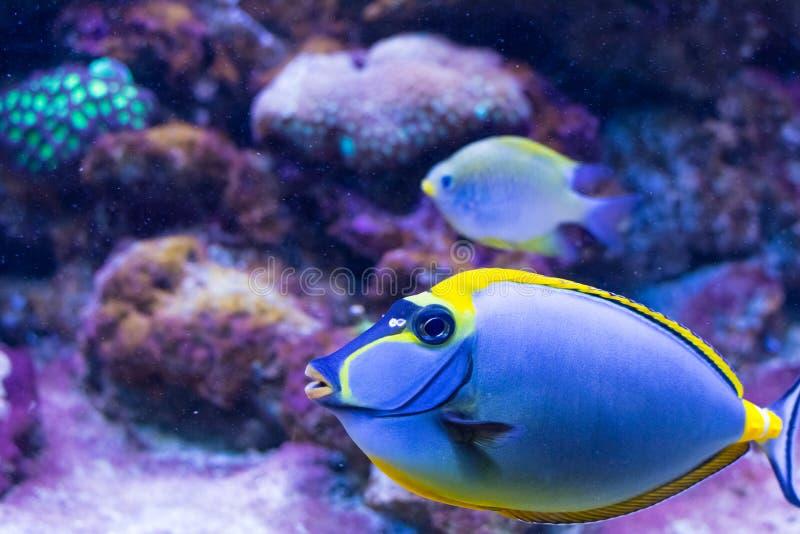 Тропические рыбы сигнализируют paracanthurus (hepatus) Paracanthurus внутри - vivo стоковые фотографии rf
