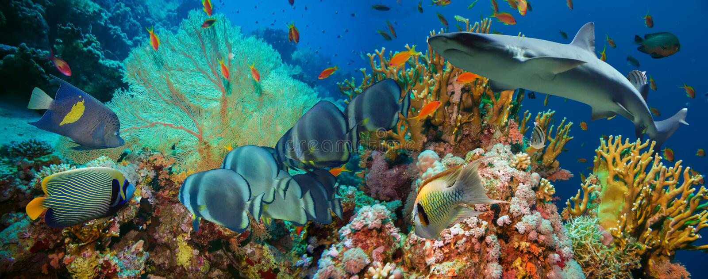 Тропические рыбы Anthias с сетчатыми кораллами огня и акула стоковое фото