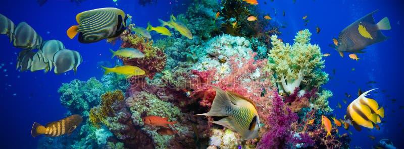 Тропические рыбы Anthias с сетчатыми кораллами огня стоковое фото rf