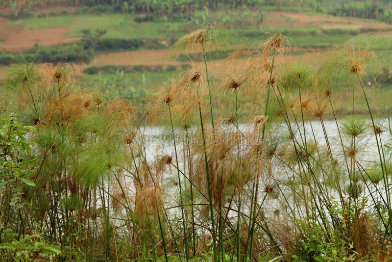 Тропические тростники берега озера стоковые фотографии rf