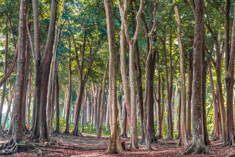 Тропический вечнозеленый лес с высокими деревьями, на солнечный день сезона осени Упаденные листья разлагают, покрывали всю землю стоковое изображение