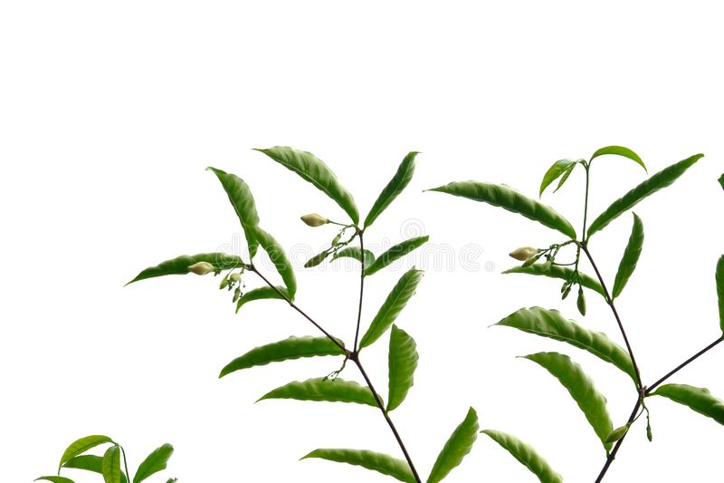 Тропический завод цветка выходит на белую изолированную предпосылку для зеленого фона листвы стоковое фото rf