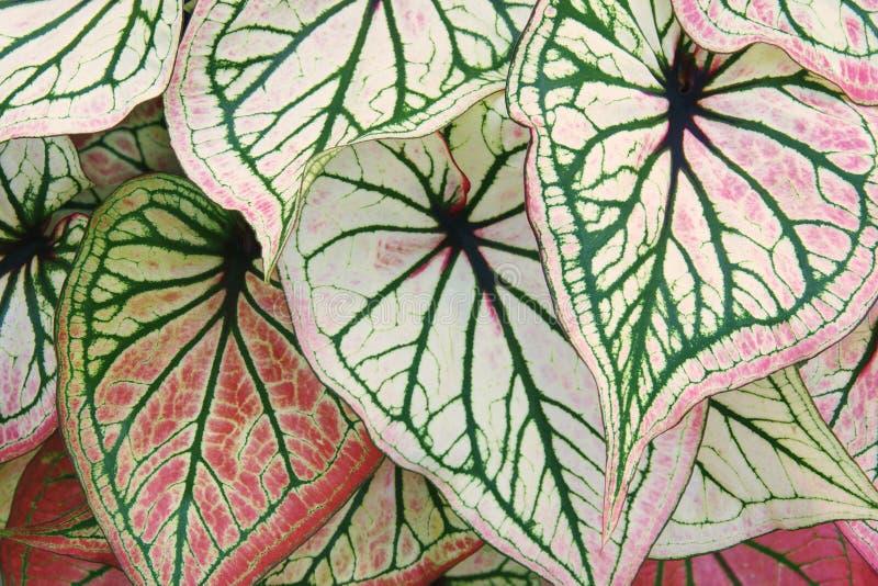 Тропический пинк листвы выходит зеленые вены завода Caladium как естественная предпосылка стоковое изображение rf