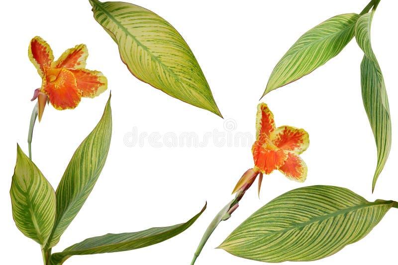 Тропический сад благоустраивая листья variegated заводом Canna или бесплатная иллюстрация