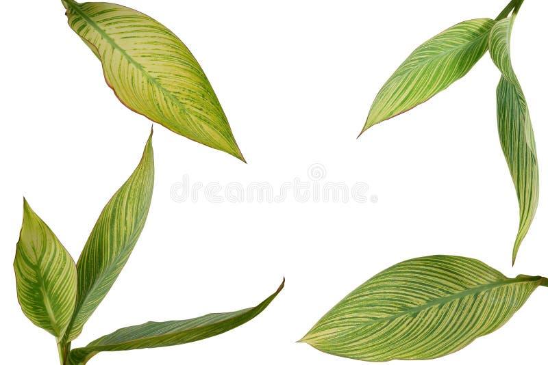 Тропический сад благоустраивая листья variegated заводом Canna или стоковые изображения