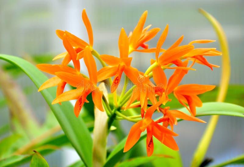 Тропический цветок Cattleya стоковые изображения rf