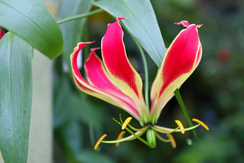 Тропический цветок Gloriosa Superba, ботанический сад стоковые изображения
