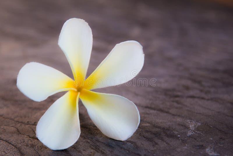 Тропический frangipani цветков на древесине стоковая фотография rf