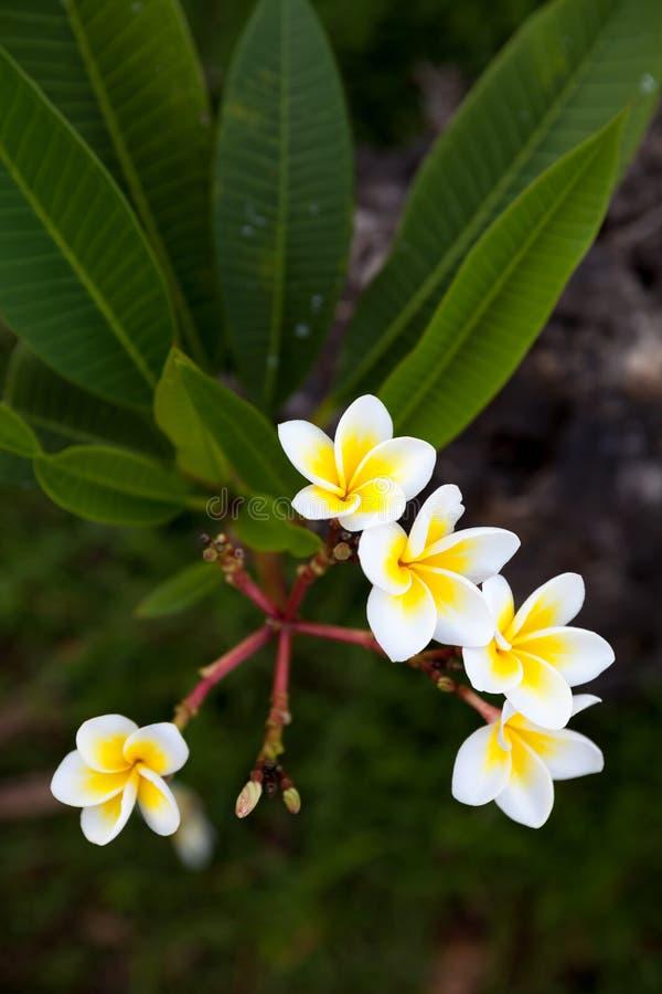 Тропический frangipani цветков & x28; plumeria& x29; на зеленой предпосылке стоковые изображения rf