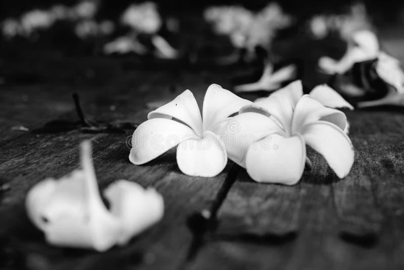 Тропический Plumeria цветков на древесине стоковое фото rf