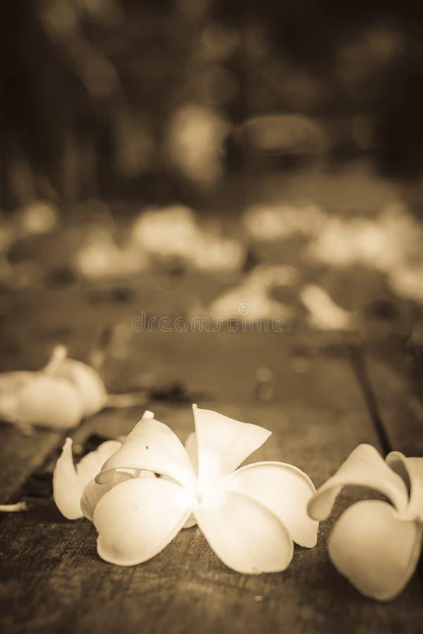 Тропический Plumeria цветков на древесине стоковые изображения