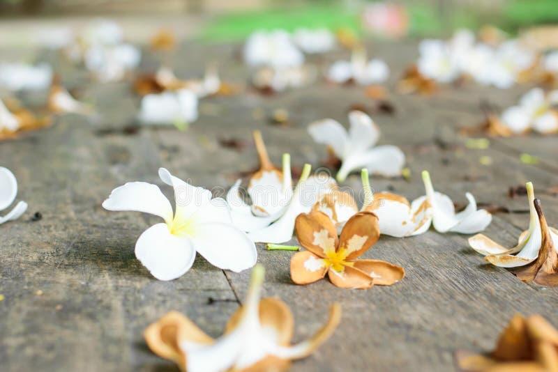 Тропический Plumeria цветков на древесине стоковые фото