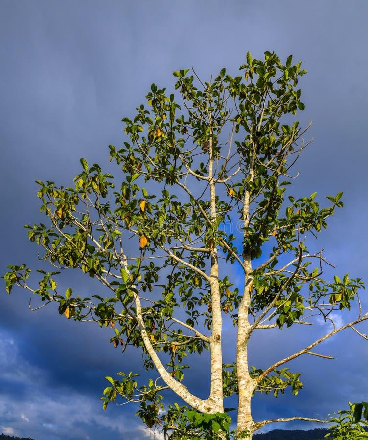 Тропическое дерево на бурной предпосылке стоковые изображения