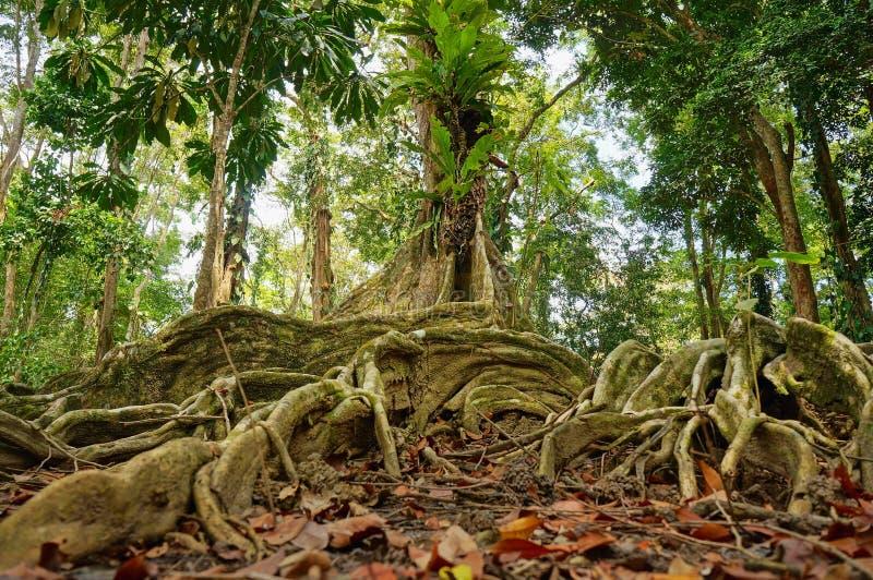 Тропическое дерево в джунглях Коста-Рика стоковые фото