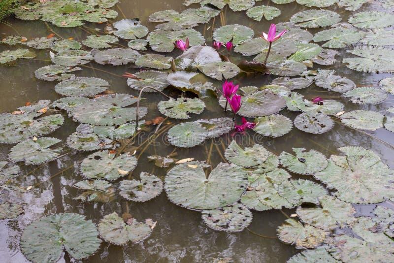 Тропическое озеро сада с розовыми цветками Крупный план цветка лилии воды стоковое изображение rf