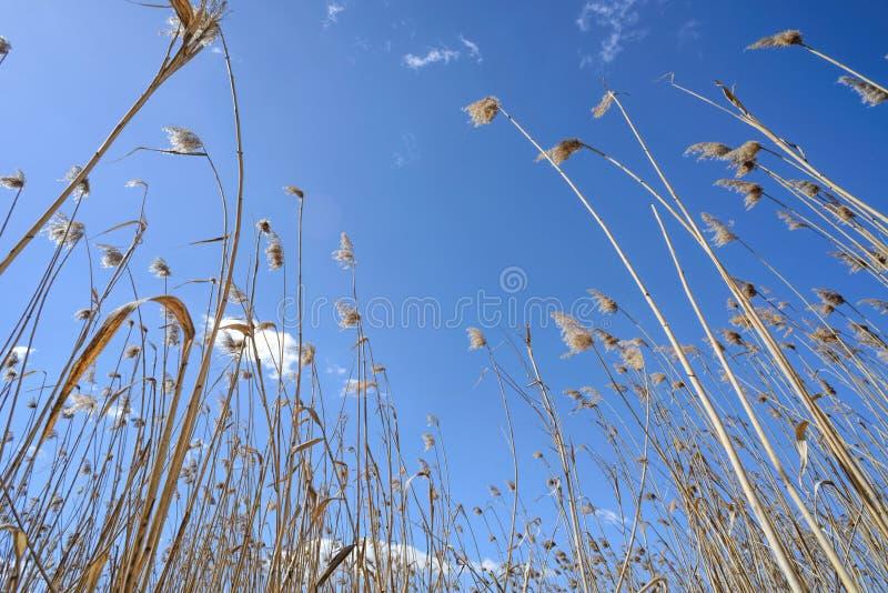 Тростники двинутые ветром стоковые изображения rf