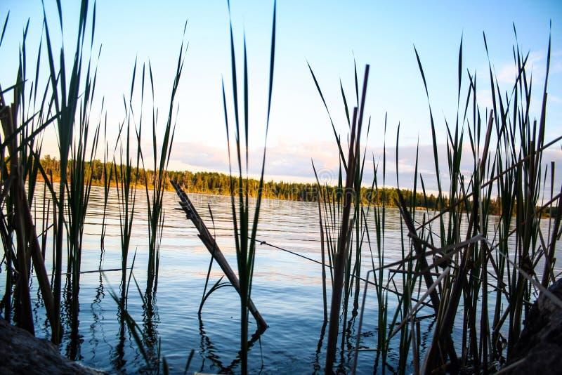 Тростники водой стоковые фотографии rf