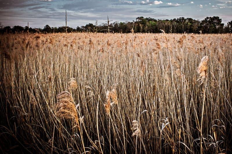 Тростники в болоте стоковые изображения