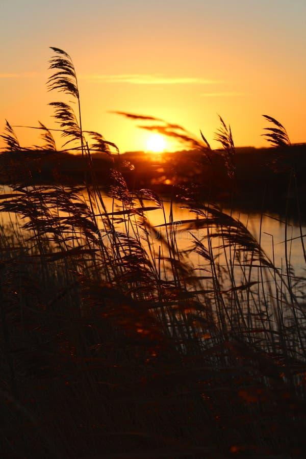 Тростники в восходе солнца стоковое изображение rf