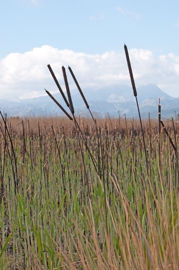 Тростники в высокой траве стоковые фото