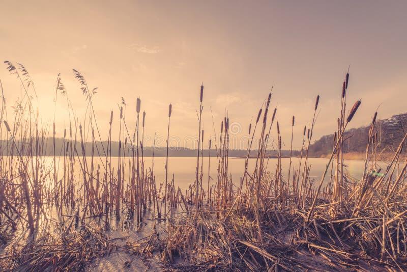 Тростники в замороженном озере в заходе солнца стоковое изображение rf