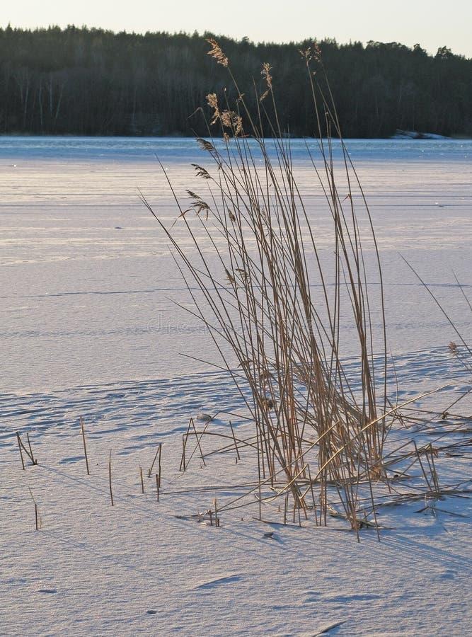 Тростники в замороженном снежном озере стоковая фотография rf