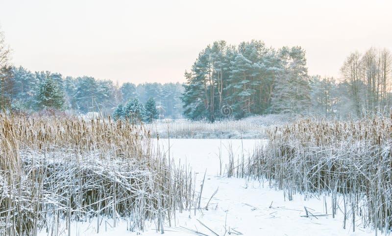 Тростники в заморозке и озере зимы стоковые фото
