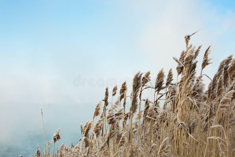 Тростники в зиме, красивой предпосылке зимы стоковая фотография
