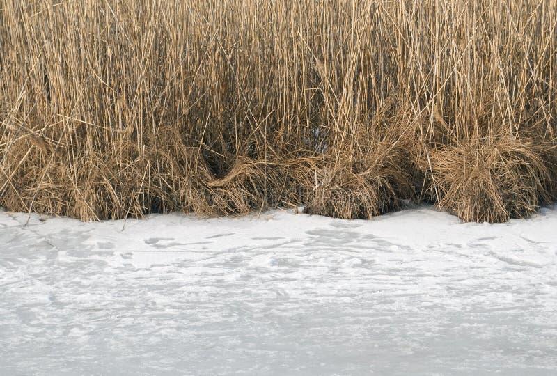 Тростники в зиме стоковая фотография