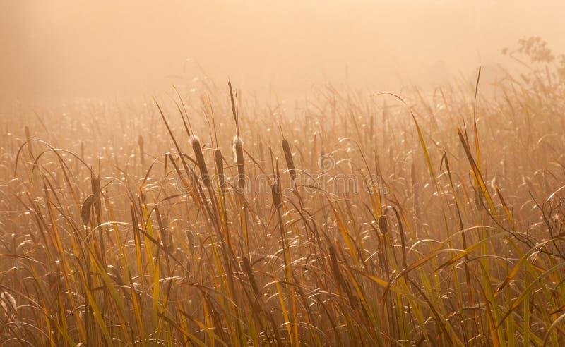 Тростники в золотом солнечном свете стоковые изображения