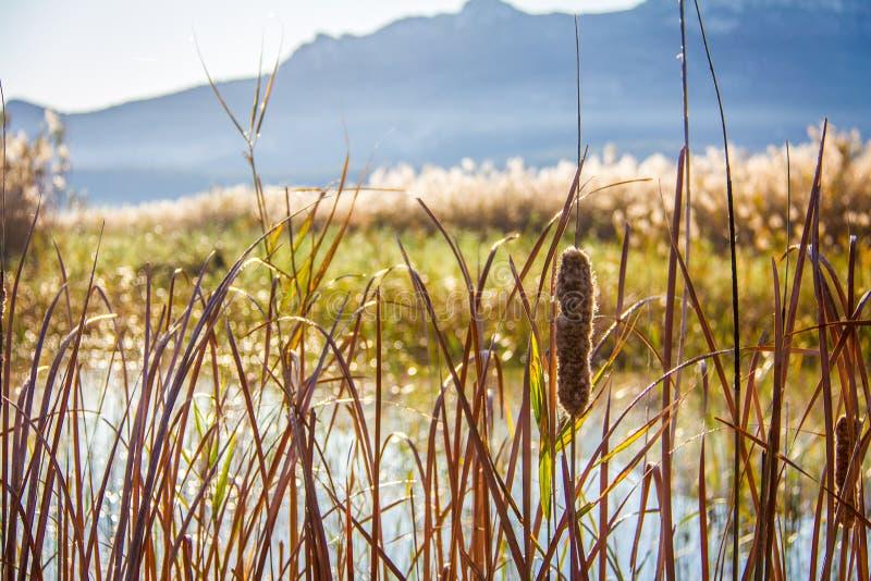 Тростники в Ла Marjal природного парка заболоченных мест в Pego и Oliva стоковое фото