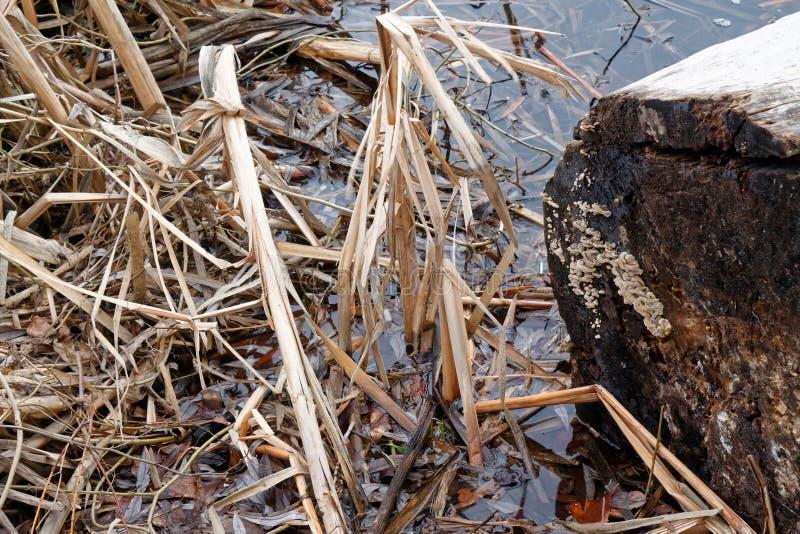 Тростники в озере, пошатывая предпосылке Reed для вебсайта или мобильных устройствах стоковое фото rf