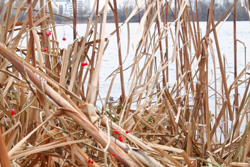 Тростники в озере, пошатывая предпосылке Reed для вебсайта или мобильных устройствах стоковые фотографии rf