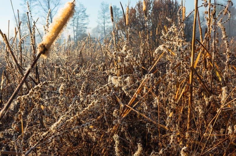 Тростники в осени болота рано утром стоковая фотография