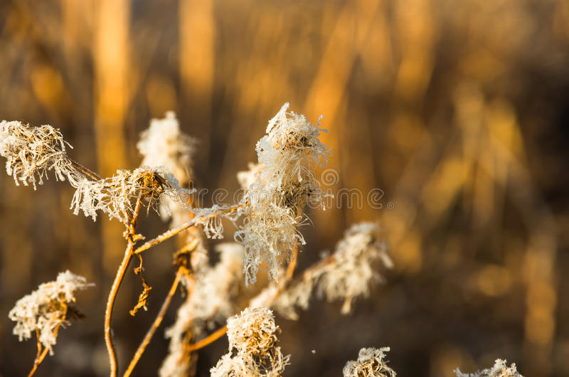 Тростники в осени болота рано утром стоковое изображение rf
