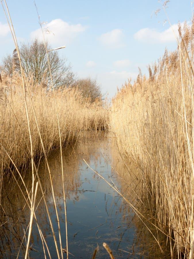 Тростники в пруде смотря хрустящий и аккуратный стоковые фотографии rf